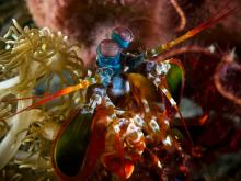 Peacock Mantis Shrimp Lembeh Indonesia